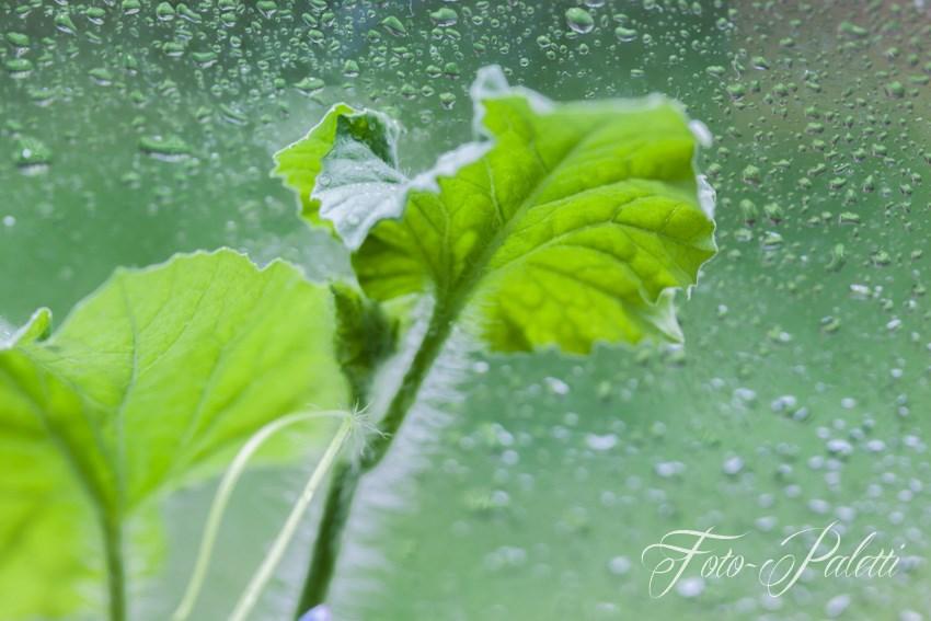 Rankende Pflanze an Fensterscheibe