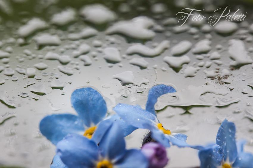 Vergissmeinnicht im Regen